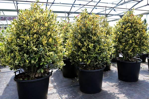 Piante for Arbusti ornamentali